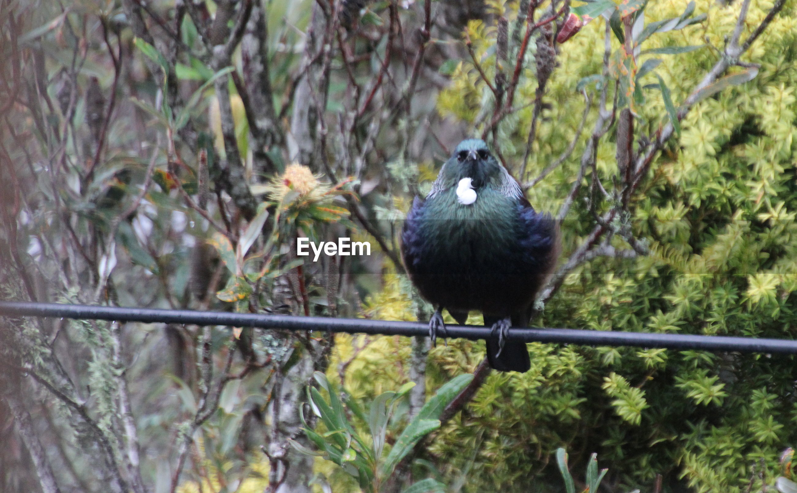 Portrait of tui bird perching on cable against plant