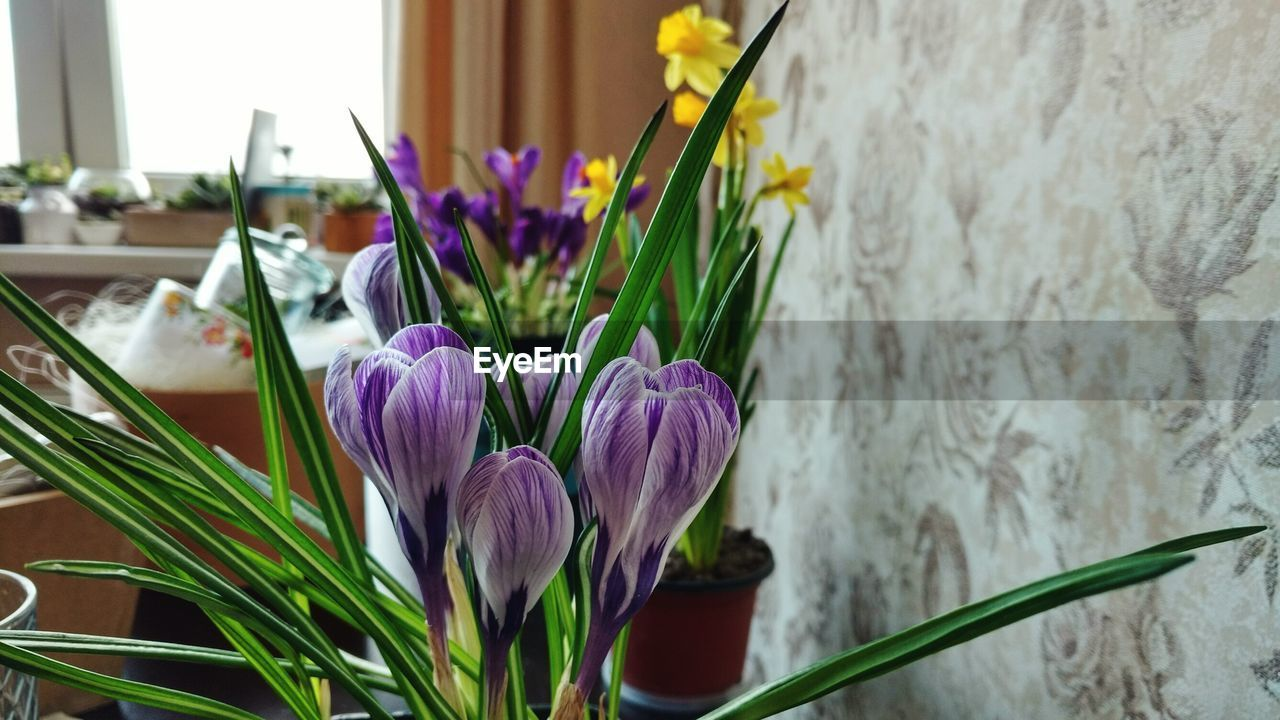 flower, petal, tulip, freshness, fragility, flower head, beauty in nature, nature, growth, purple, plant, close-up, focus on foreground, no people, green color, day, blooming, multi colored, hyacinth, bouquet, leaf, indoors, crocus