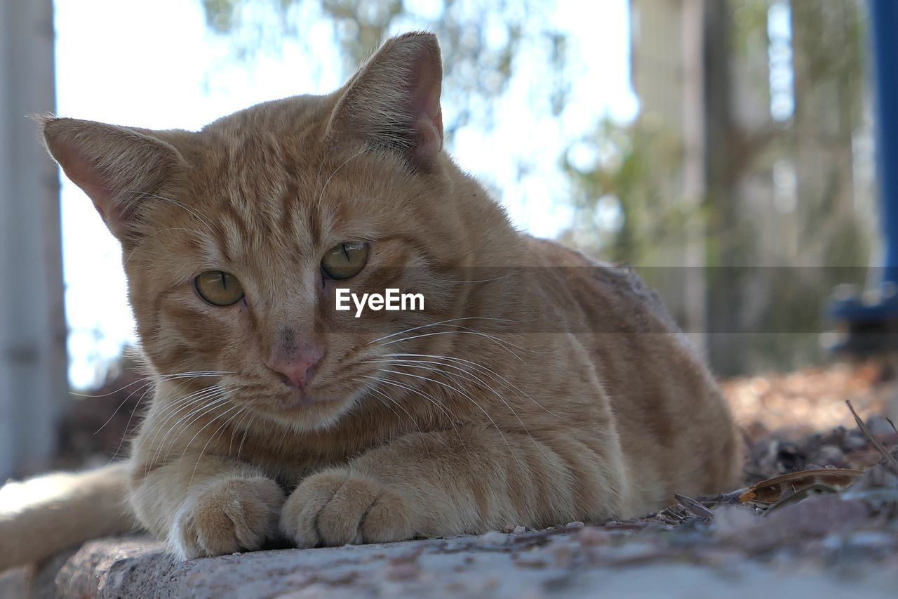 animal themes, animal, mammal, cat, one animal, feline, domestic animals, pets, domestic cat, domestic, vertebrate, no people, relaxation, whisker, day, close-up, selective focus, focus on foreground, portrait, lying down, ginger cat, animal head, surface level