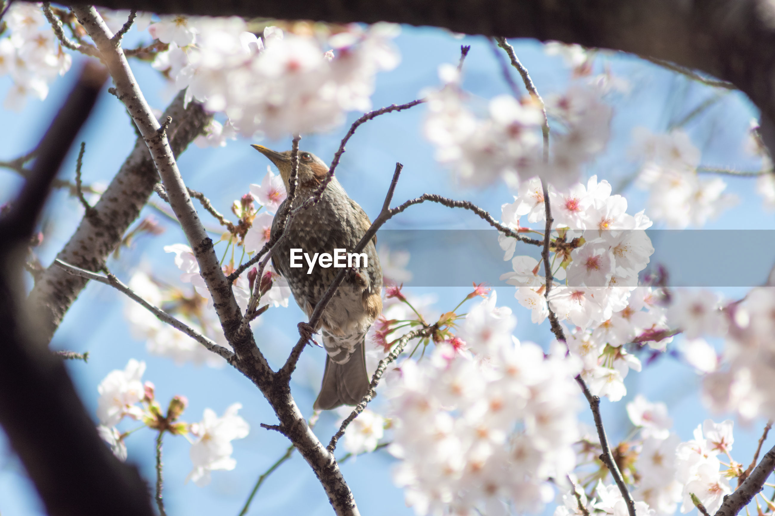 Low angle view of bird perching on cherry blossoms