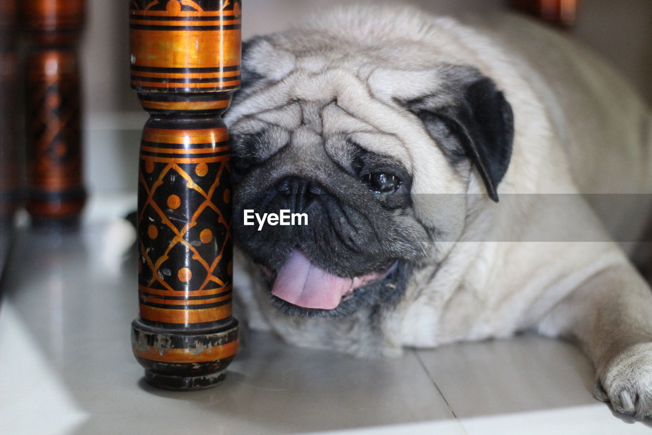 animal themes, domestic, animal, dog, one animal, canine, mammal, pets, domestic animals, indoors, focus on foreground, close-up, no people, pug, lap dog, vertebrate, small, table, container, looking