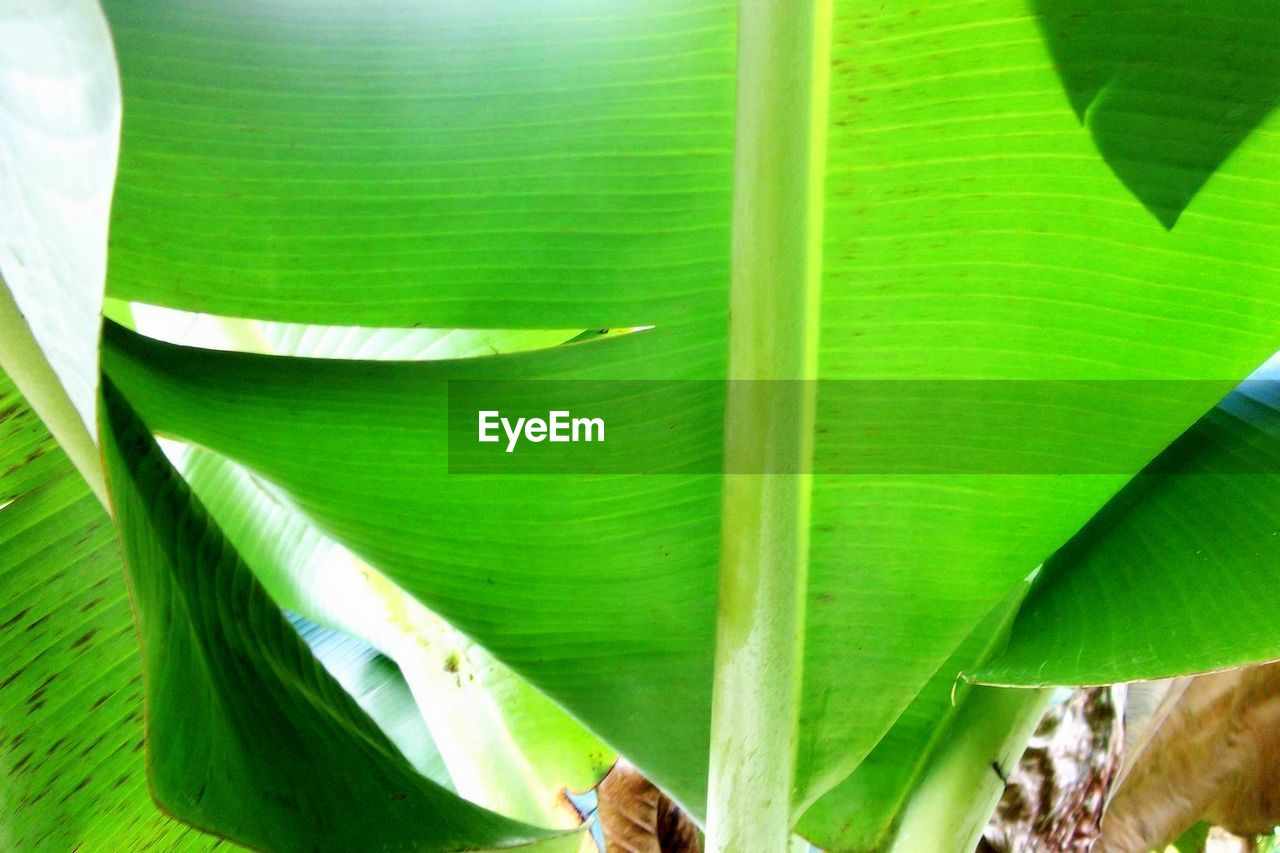 leaf, green color, growth, banana leaf, day, banana tree, nature, outdoors, animal themes, plant, close-up, no people, animals in the wild, beauty in nature, freshness