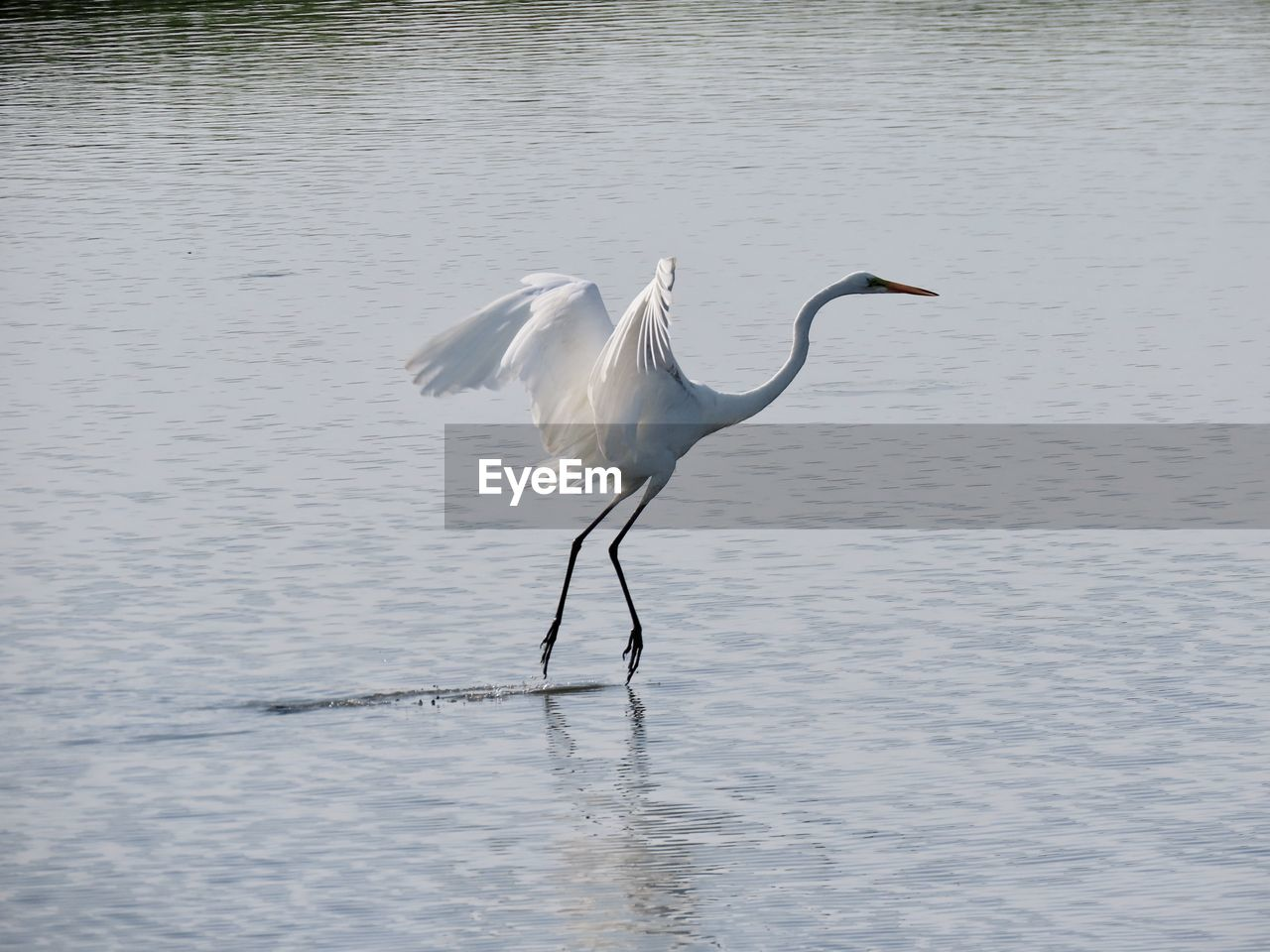 vertebrate, animals in the wild, animal wildlife, water, bird, animal, animal themes, one animal, no people, water bird, heron, lake, waterfront, egret, white color, nature, beauty in nature, day, great egret, animal neck