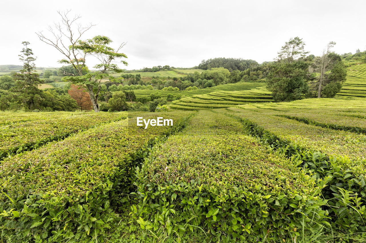 plant, growth, landscape, green color, sky, tree, field, environment, tranquil scene, tranquility, scenics - nature, beauty in nature, land, agriculture, rural scene, nature, no people, farm, day, crop, tea crop, outdoors, plantation