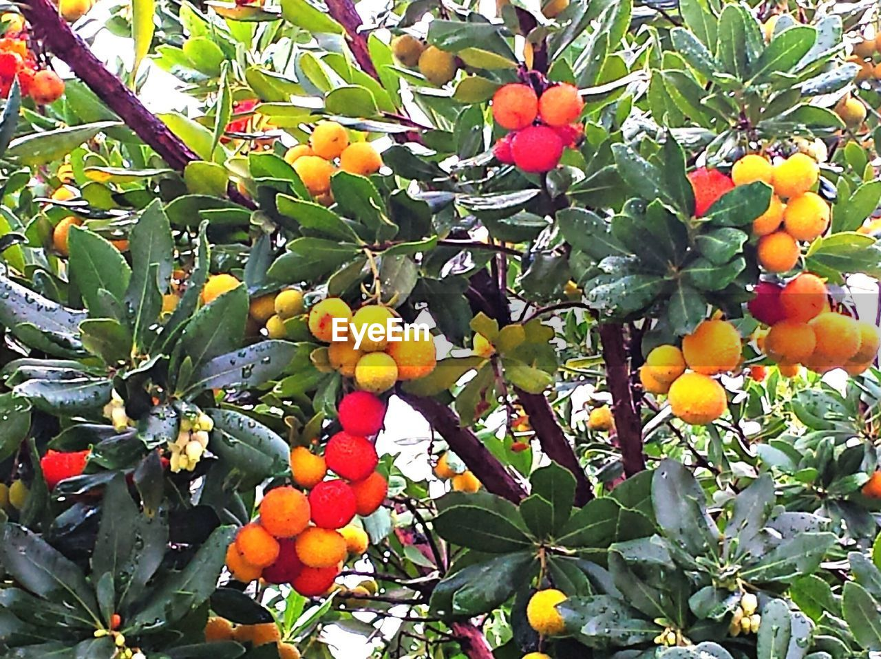 fruit, leaf, food and drink, growth, food, tree, day, outdoors, freshness, low angle view, citrus fruit, no people, healthy eating, green color, nature, orange tree, hanging, agriculture, branch, beauty in nature, close-up