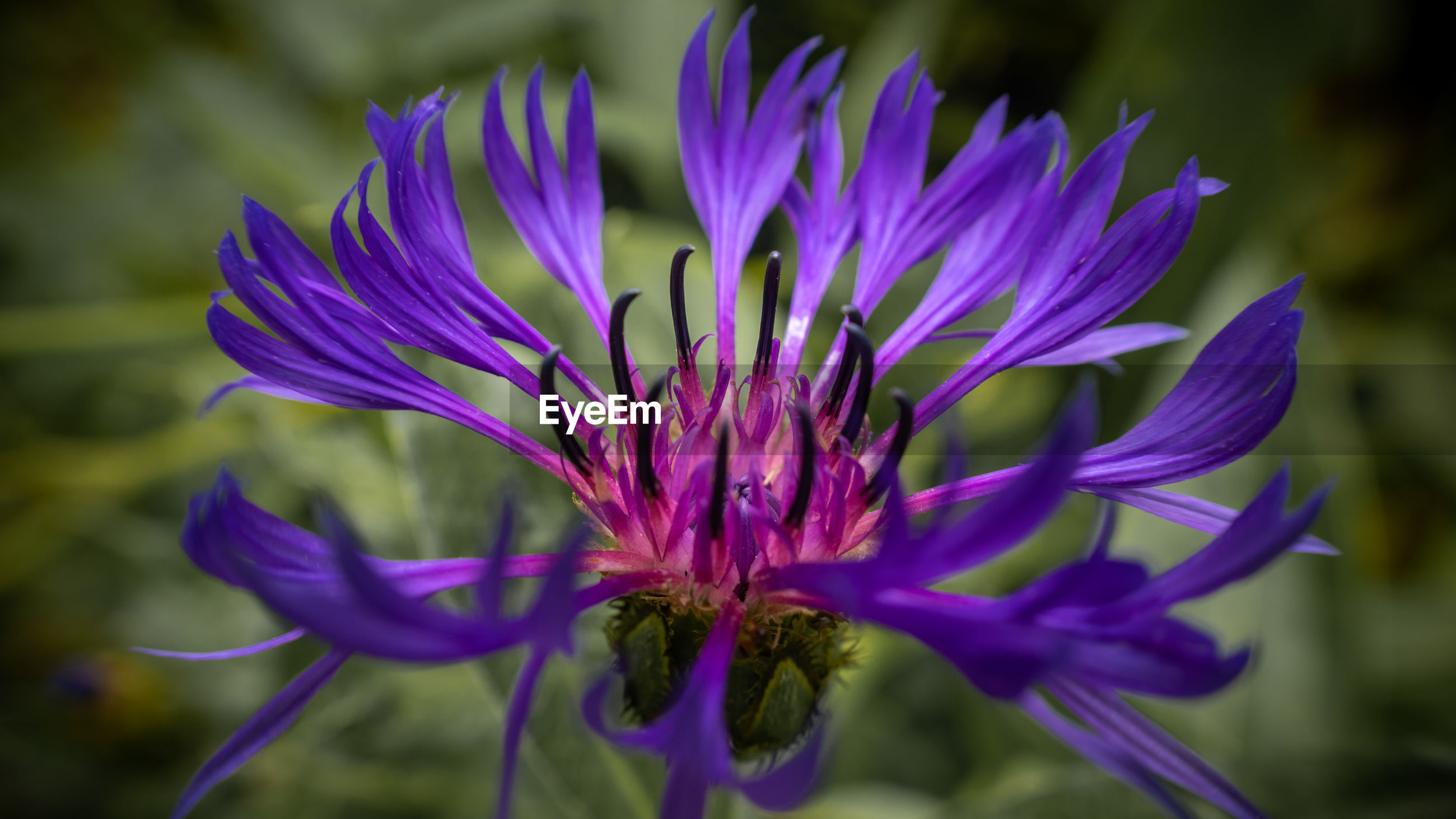 CLOSE-UP OF PURPLE CONEFLOWER