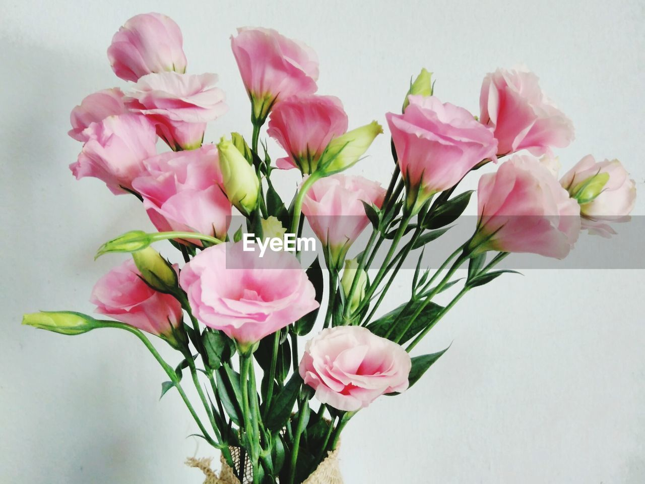 flower, pink color, petal, freshness, fragility, flower head, nature, no people, beauty in nature, studio shot, close-up, bouquet, growth, indoors, white background, day, periwinkle