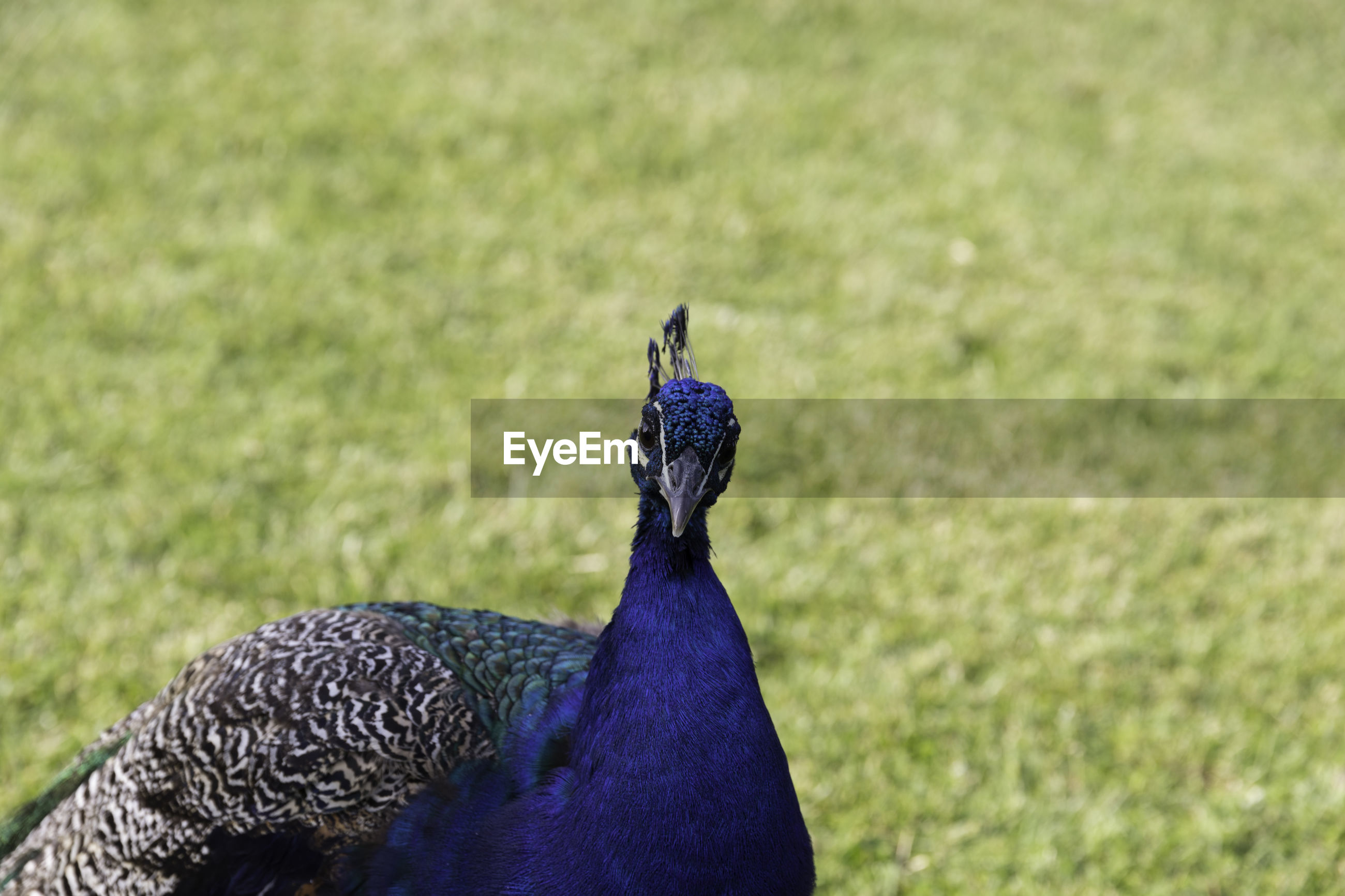 CLOSE-UP OF A PEACOCK ON FIELD