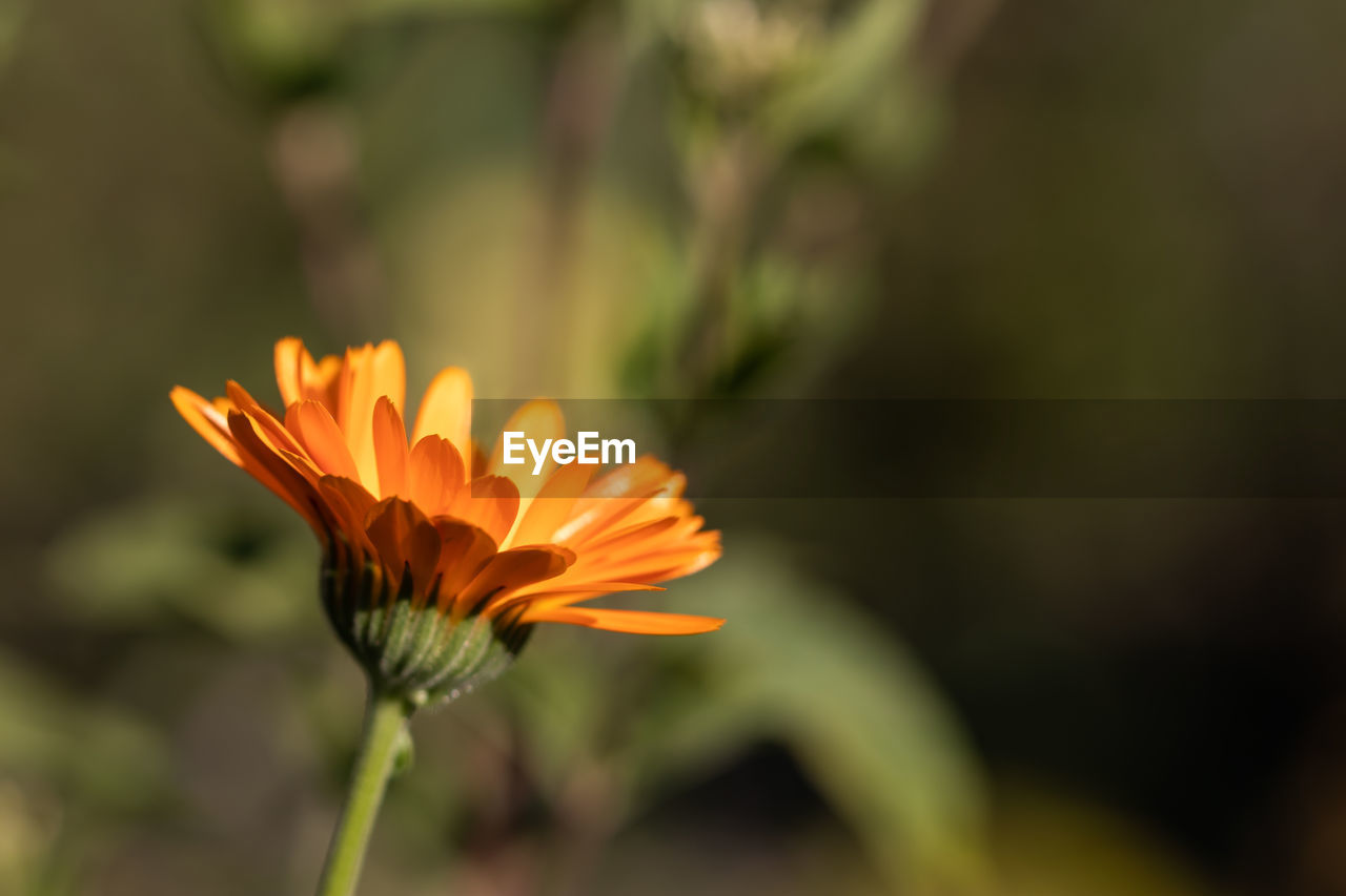flowering plant, flower, vulnerability, fragility, growth, beauty in nature, plant, petal, flower head, freshness, inflorescence, close-up, orange color, focus on foreground, nature, day, no people, outdoors, sunlight, gazania, orange, sepal