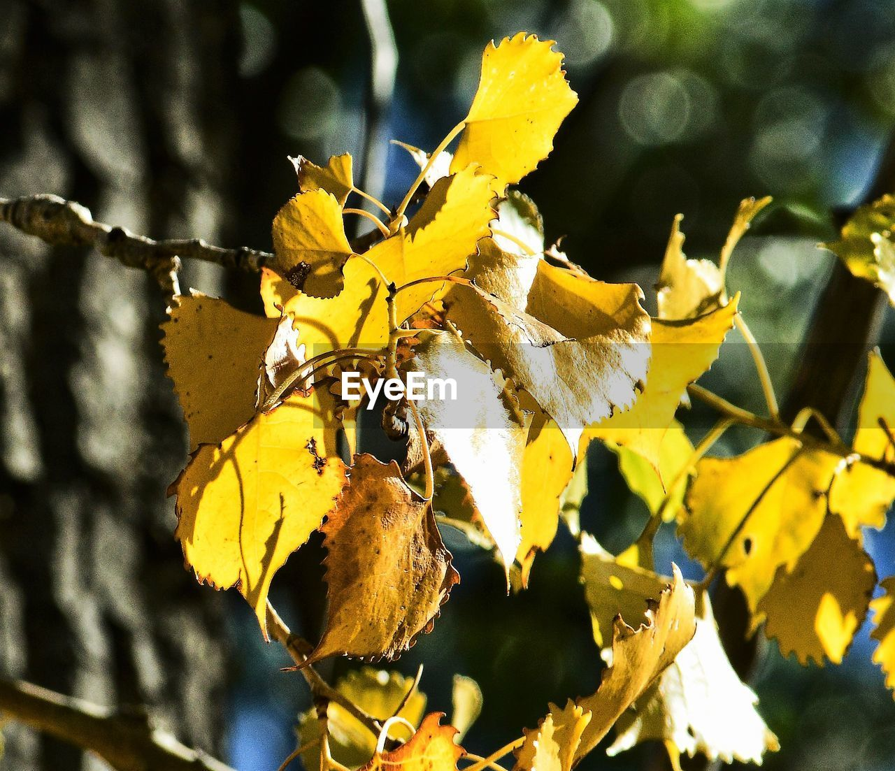 Close-Up Of Yellow Leaves