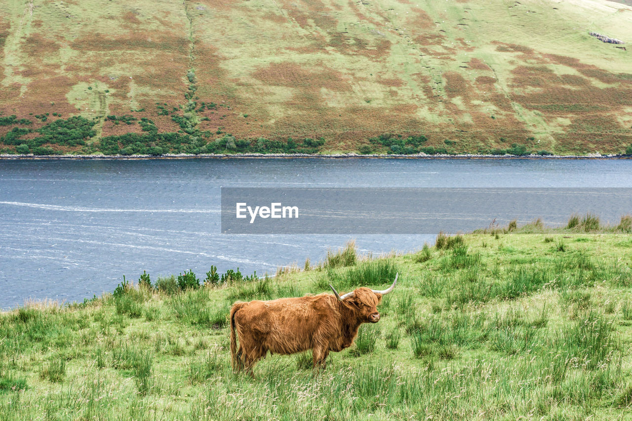 COW STANDING ON GRASSY FIELD BY LAKE