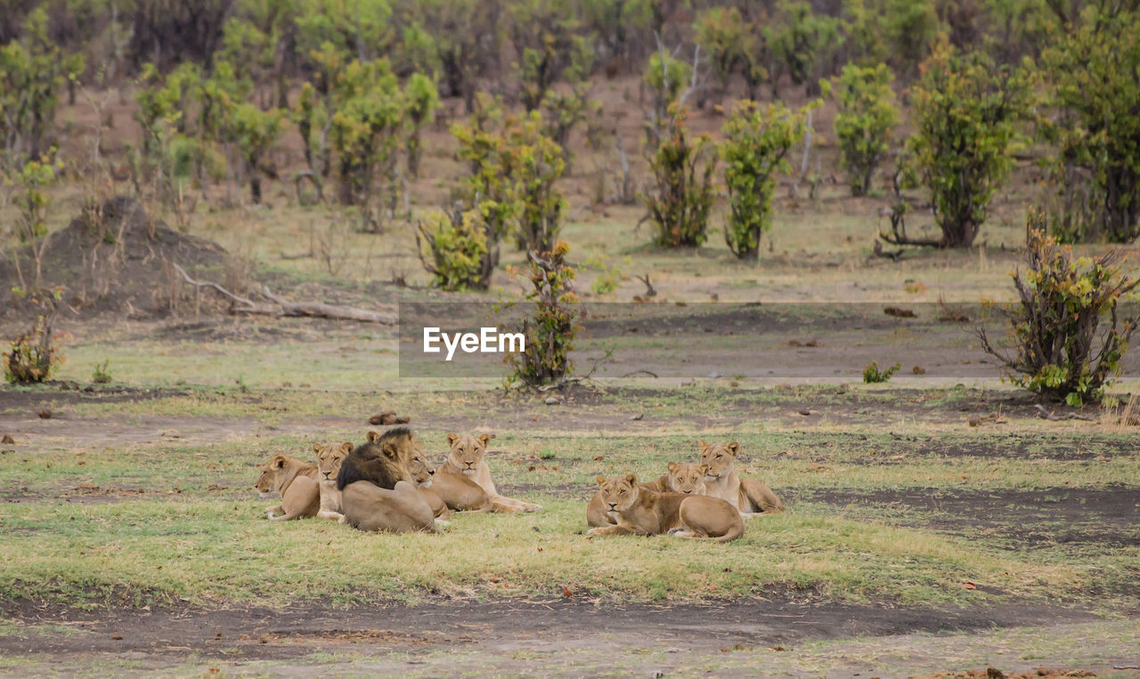 Lion And Lioness Resting On Field
