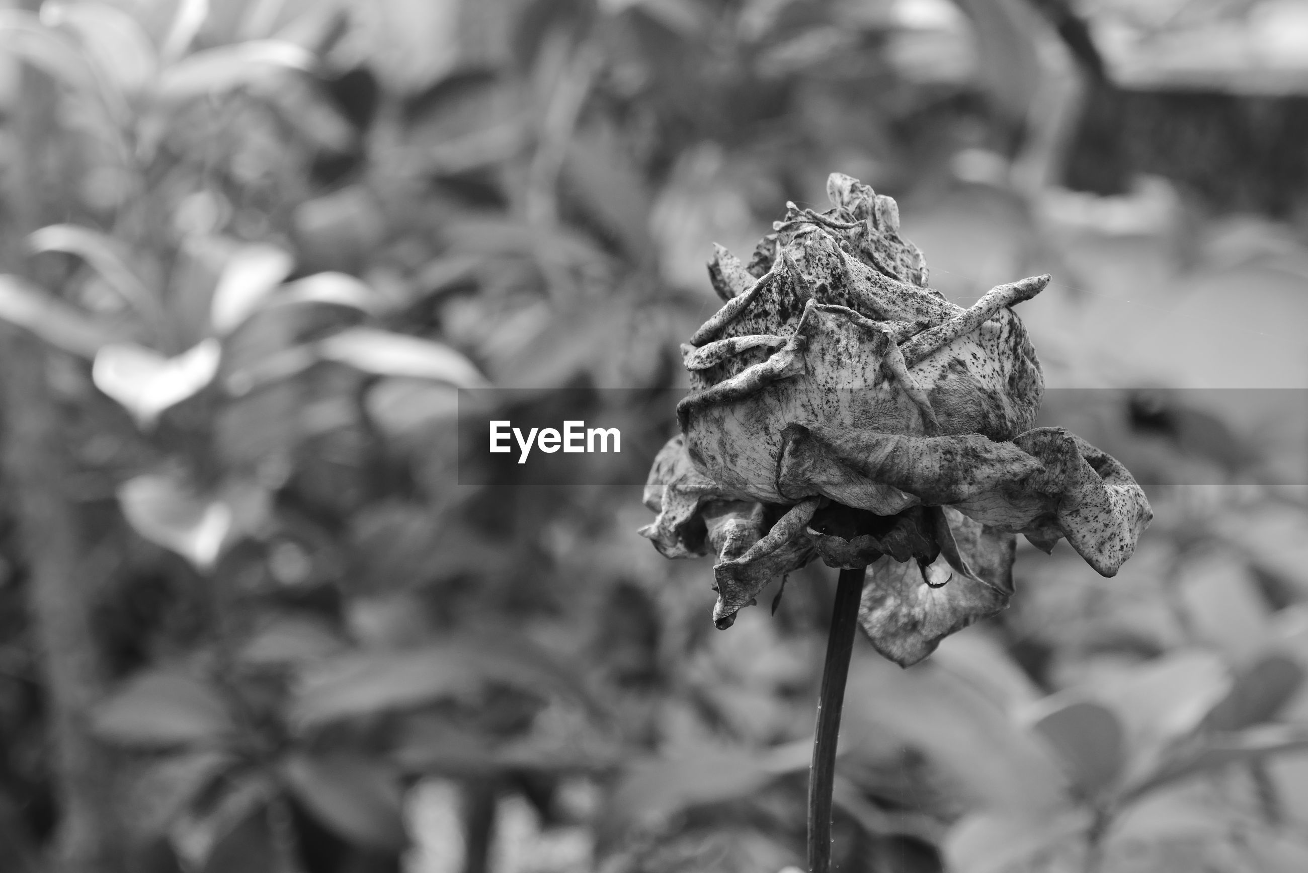 Dry rose black and white.