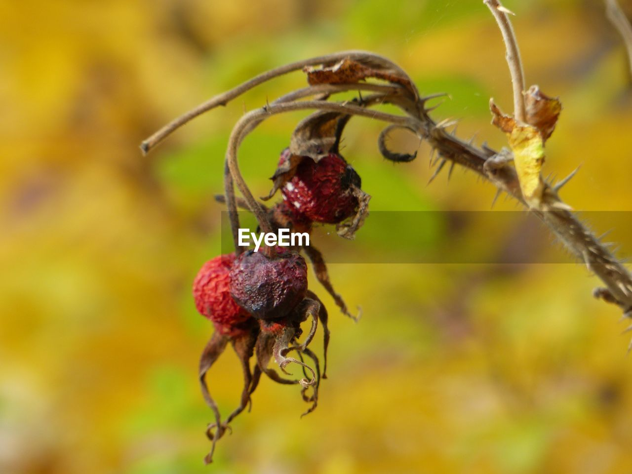 close-up, plant, no people, growth, nature, focus on foreground, day, beauty in nature, fragility, red, food, food and drink, healthy eating, vulnerability, outdoors, fruit, flower, invertebrate, selective focus, insect, wilted plant