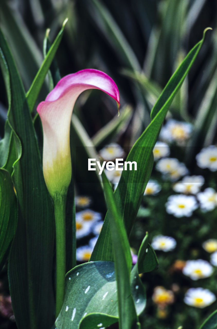 plant, flower, flowering plant, growth, freshness, beauty in nature, fragility, vulnerability, close-up, petal, nature, focus on foreground, green color, flower head, plant part, inflorescence, no people, leaf, day, bud