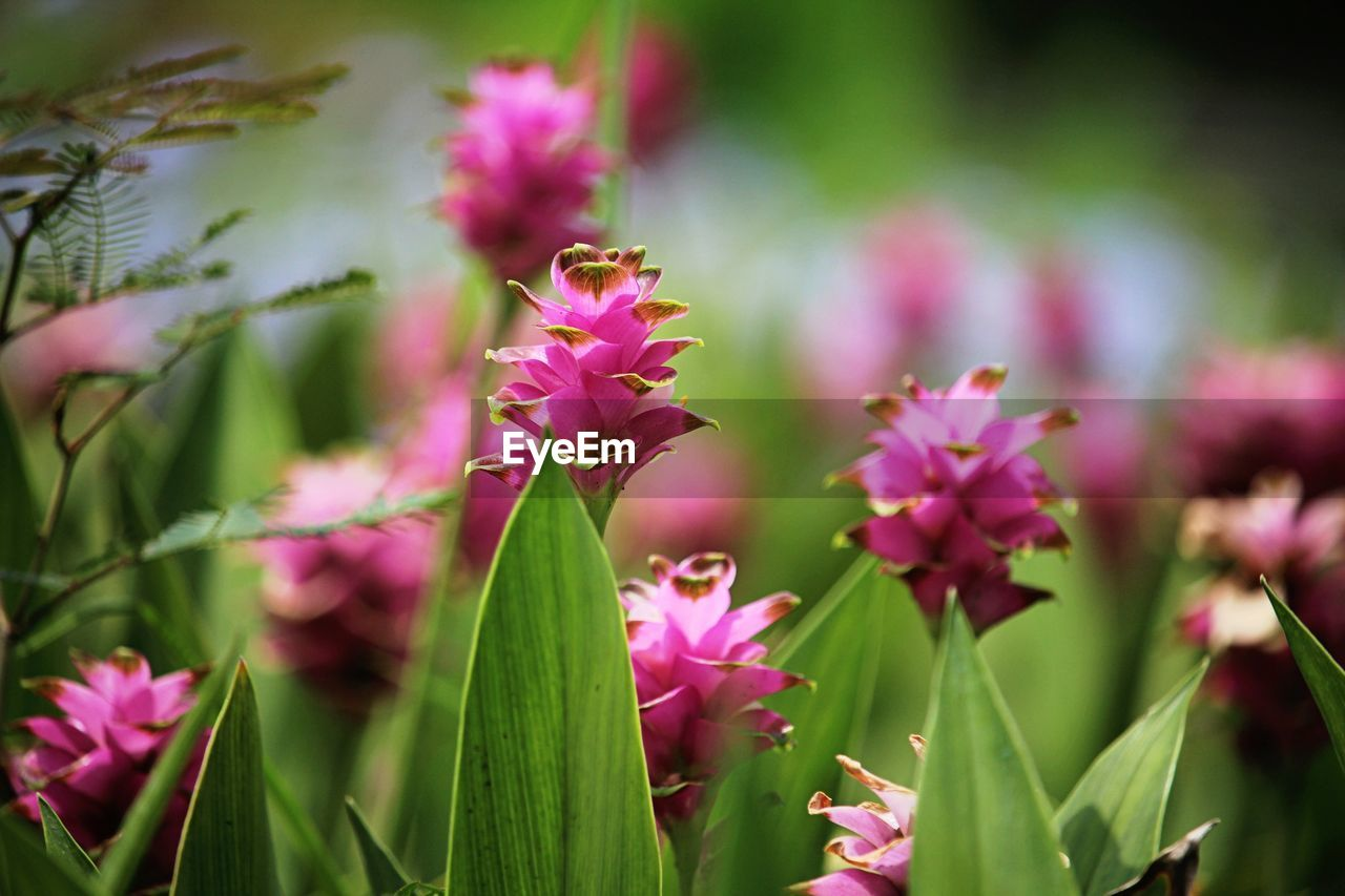 flower, flowering plant, plant, growth, beauty in nature, vulnerability, freshness, fragility, close-up, pink color, petal, selective focus, nature, flower head, inflorescence, plant part, leaf, day, no people, green color, outdoors, purple
