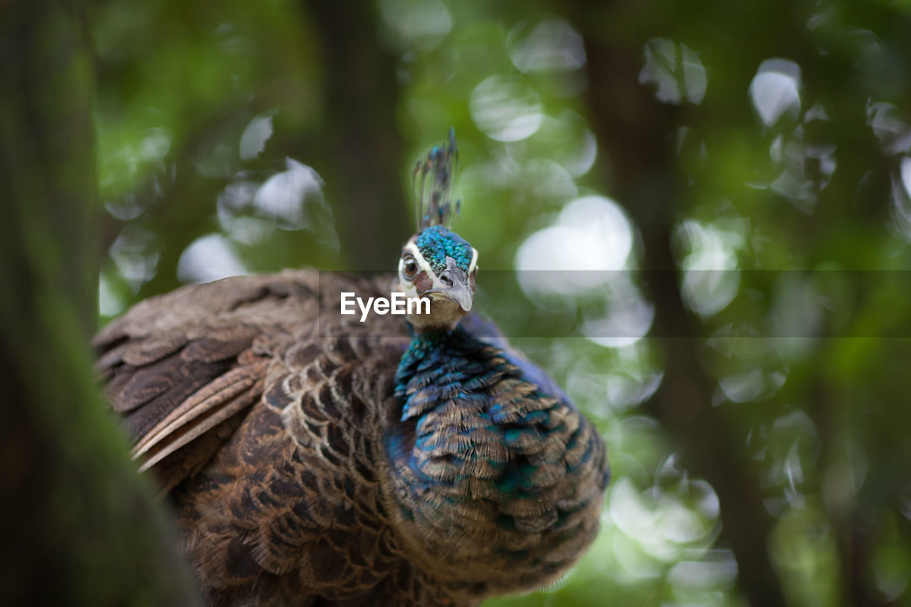 bird, one animal, animal themes, animals in the wild, day, outdoors, nature, peacock, no people, animal wildlife, close-up, beauty in nature