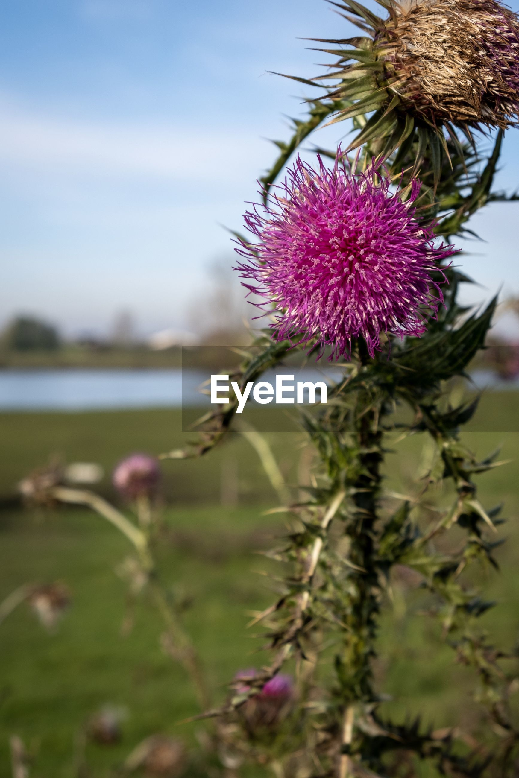 Close-up of fresh pink thistle flower against sky