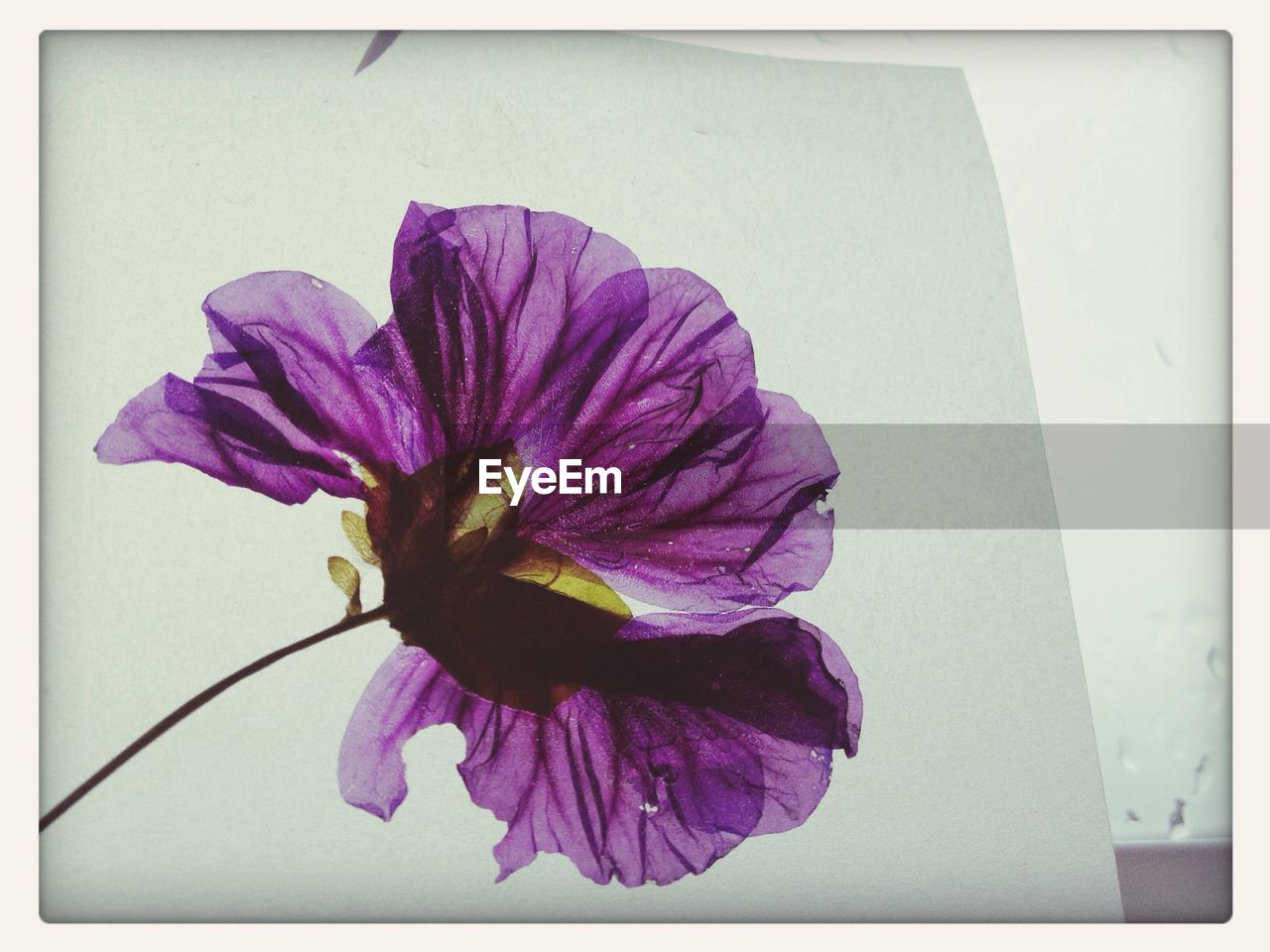 Close-up of purple flower painting on white paper