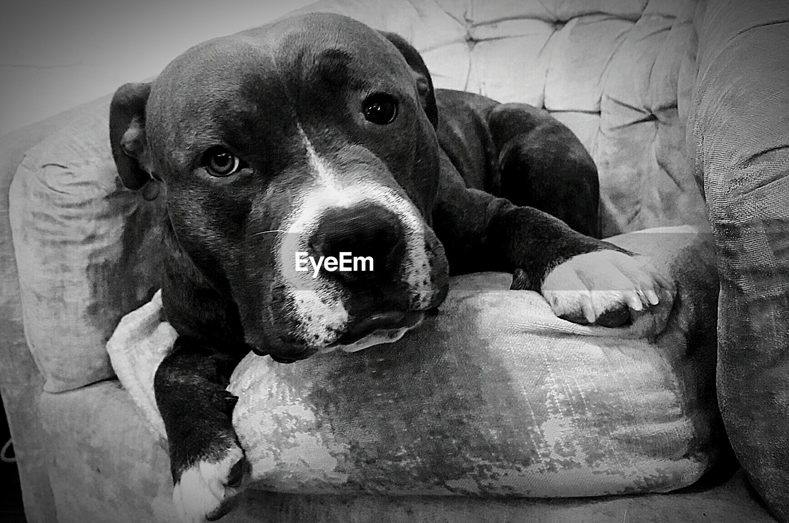 dog, animal themes, pets, one animal, mammal, domestic animals, indoors, relaxation, portrait, looking at camera, lying down, sitting, resting, close-up, no people, home interior, black color, relaxing, high angle view, sofa