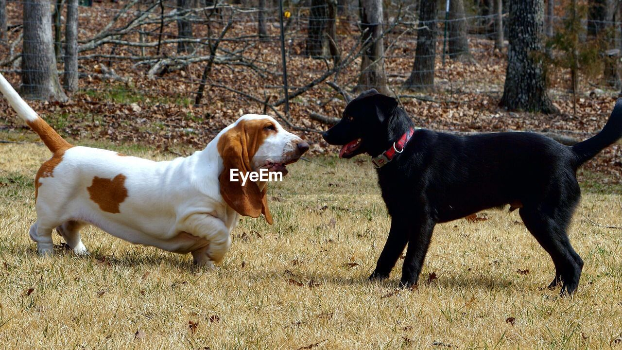 Dogs Fighting On Grass