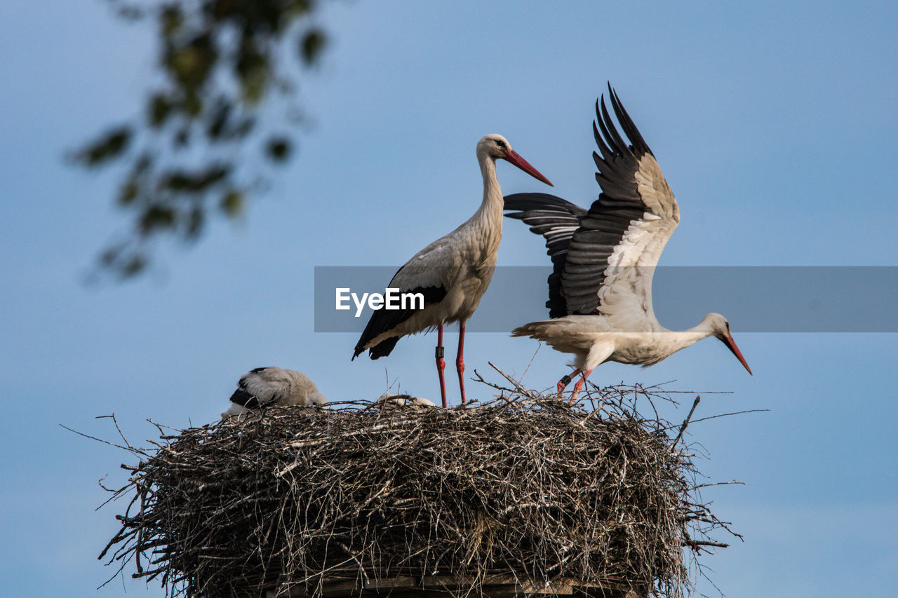 bird, animals in the wild, group of animals, animal themes, animal wildlife, vertebrate, animal, animal nest, sky, two animals, bird nest, flying, nature, spread wings, no people, stork, day, low angle view, plant, clear sky, beak, animal family