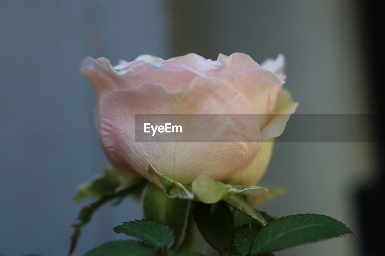 flowering plant, beauty in nature, plant, flower, vulnerability, fragility, petal, freshness, close-up, flower head, growth, inflorescence, plant part, leaf, nature, rose - flower, rose, focus on foreground, no people, outdoors, springtime, softness, sepal