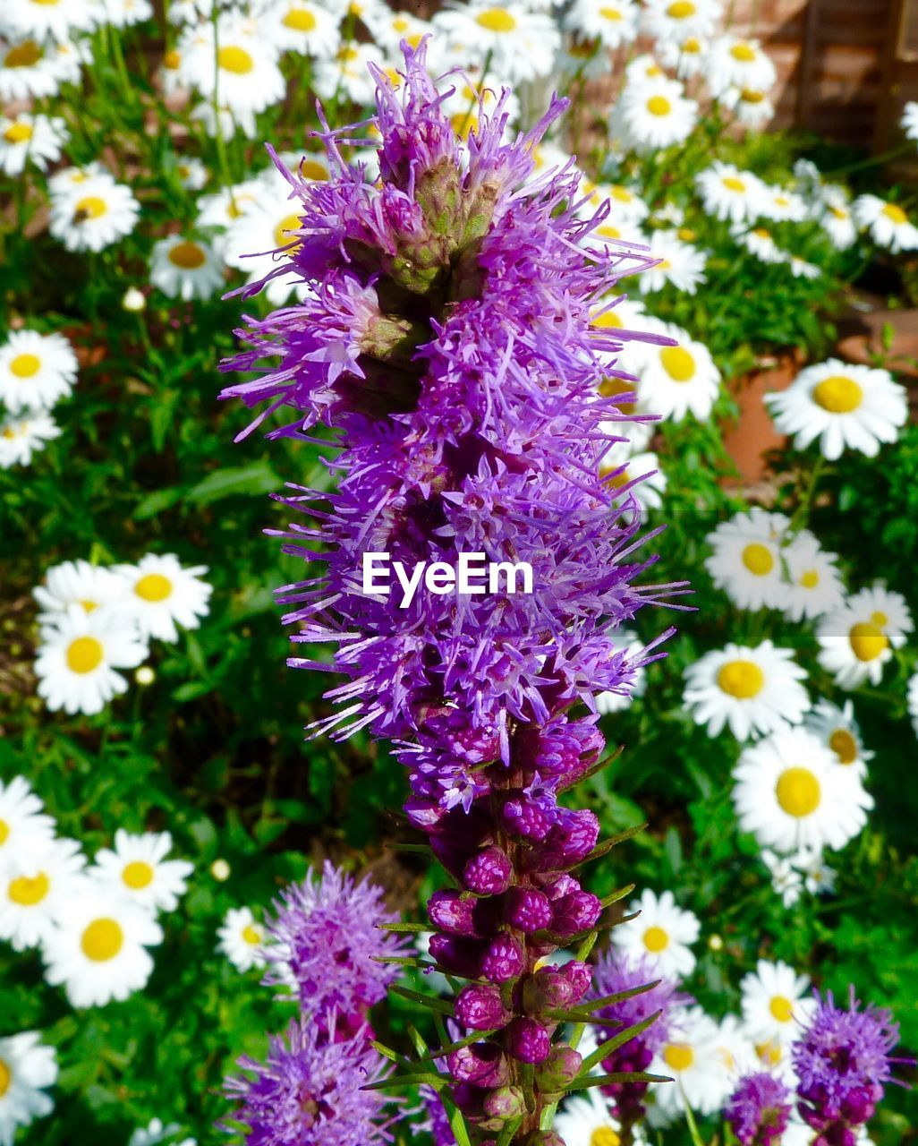 flower, purple, growth, nature, beauty in nature, no people, fragility, freshness, day, petal, plant, outdoors, close-up, blooming, flower head