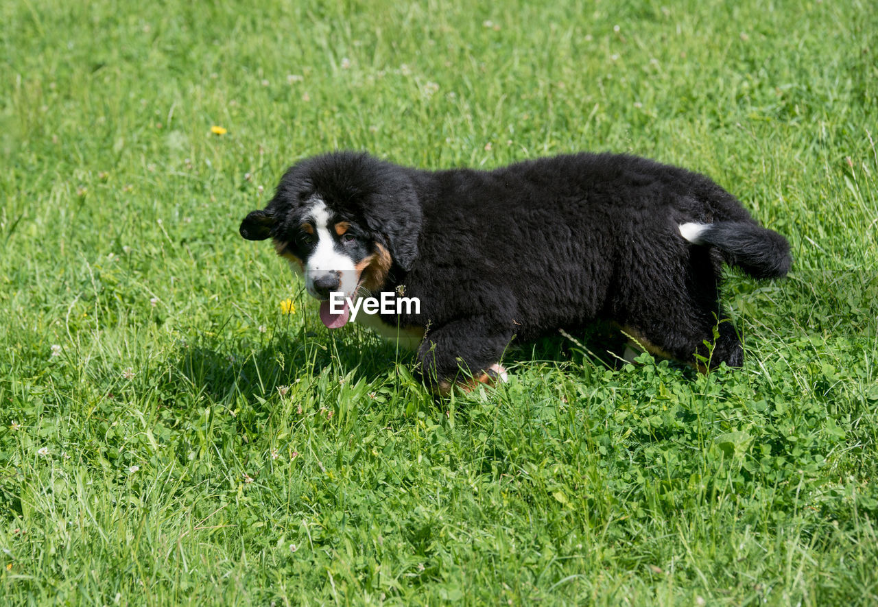 one animal, mammal, grass, domestic, canine, pets, dog, domestic animals, plant, green color, no people, border collie, nature, vertebrate, black color, day, young animal, purebred dog