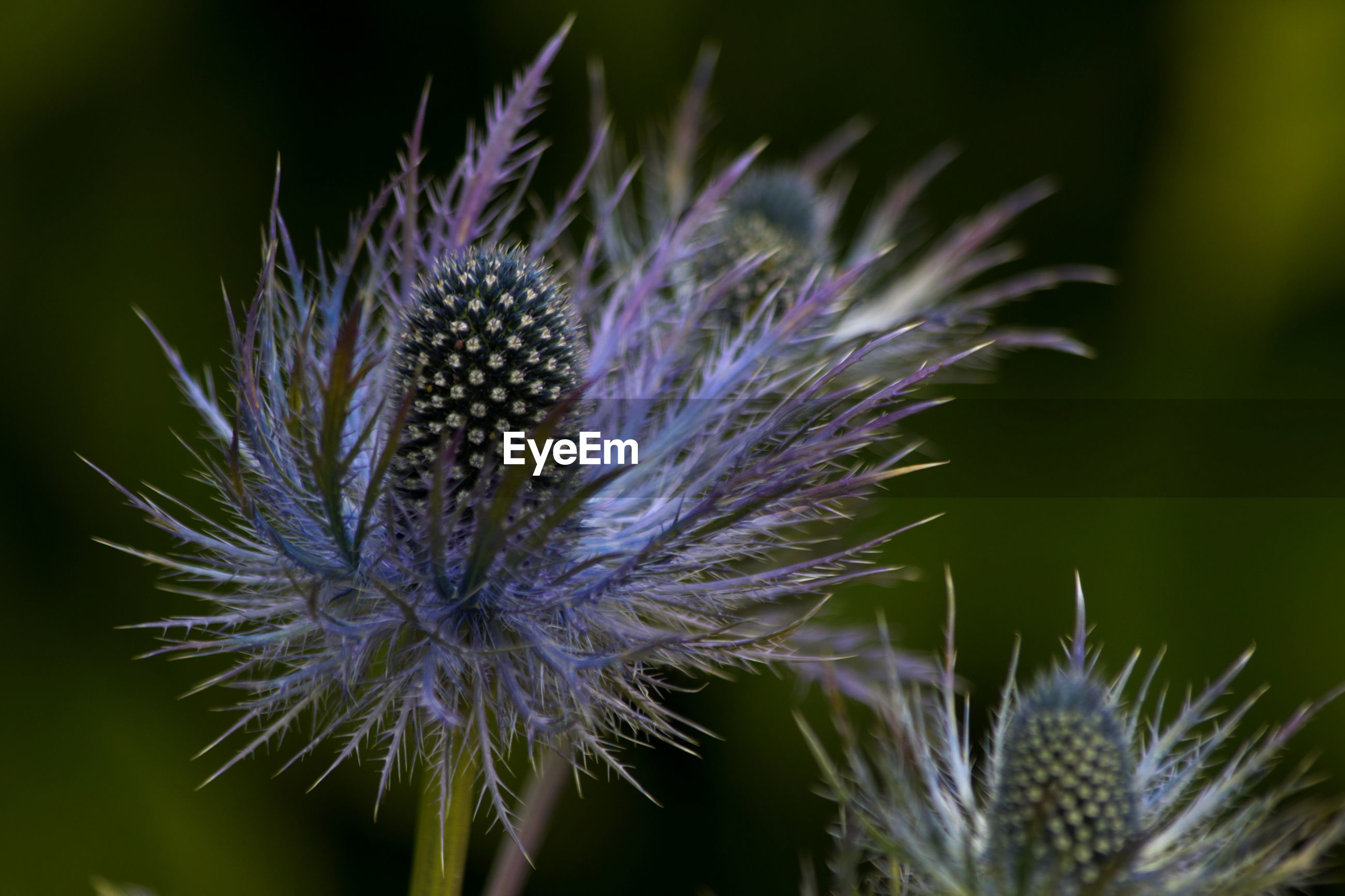 CLOSE-UP VIEW OF THISTLE