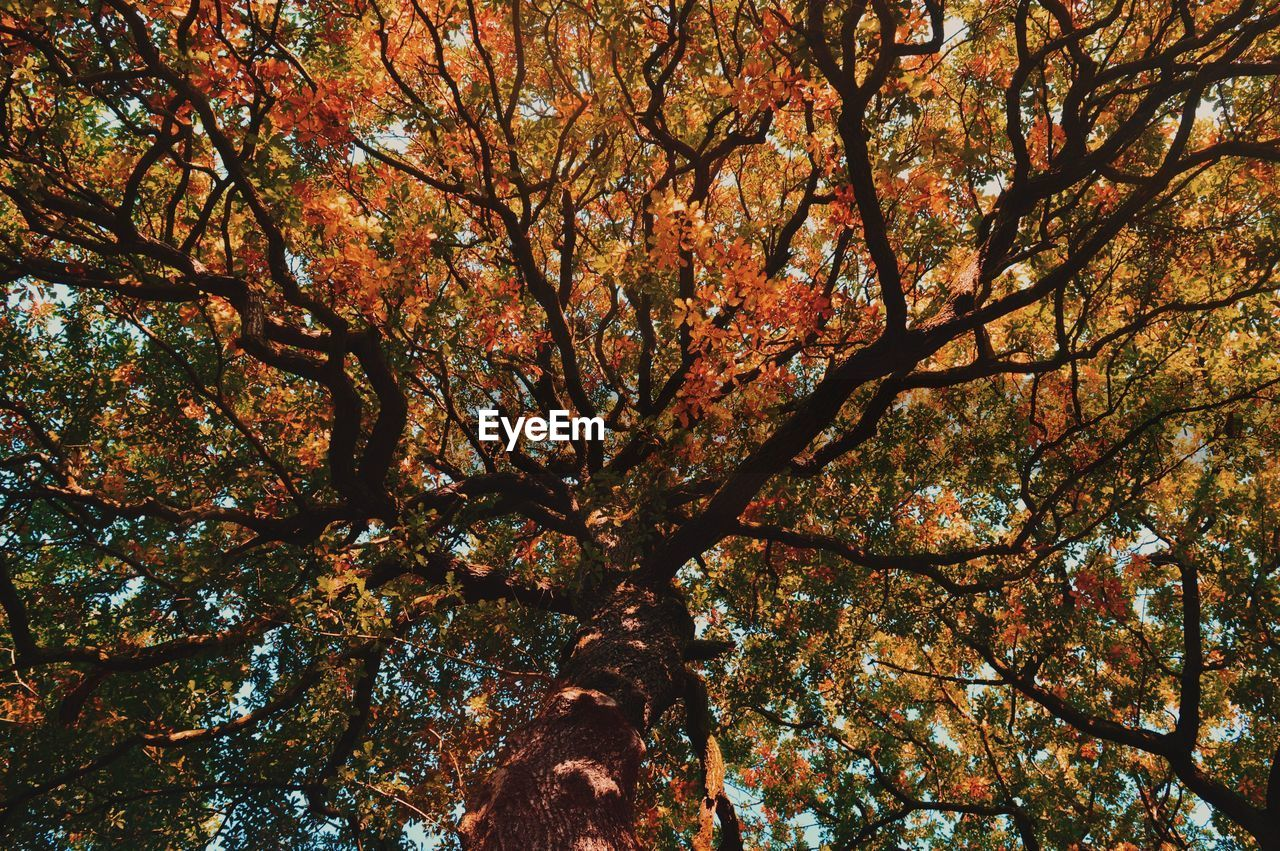 LOW ANGLE VIEW OF TREE AGAINST AUTUMN TREES