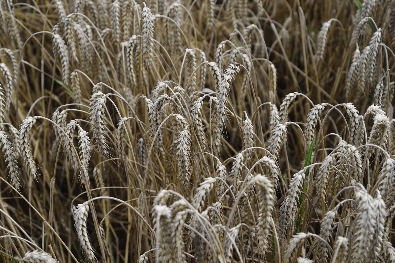growth, plant, agriculture, crop, land, farm, field, cereal plant, no people, full frame, nature, day, close-up, wheat, beauty in nature, rural scene, backgrounds, tranquility, landscape, focus on foreground, outdoors, stalk, plantation