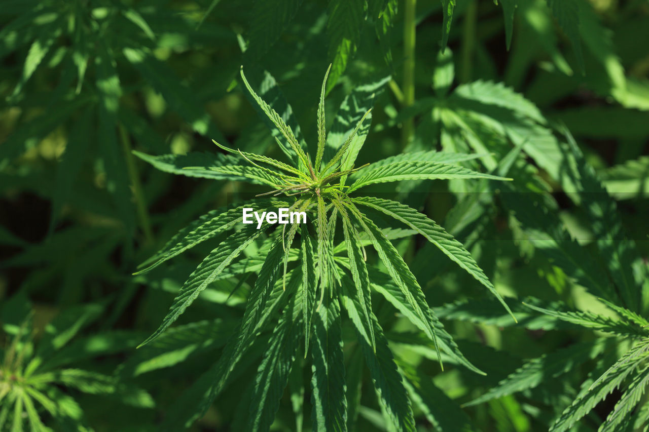 plant, green color, growth, leaf, plant part, beauty in nature, close-up, nature, no people, focus on foreground, freshness, day, selective focus, outdoors, marijuana - herbal cannabis, tranquility, fragility, vulnerability, narcotic, land, herb