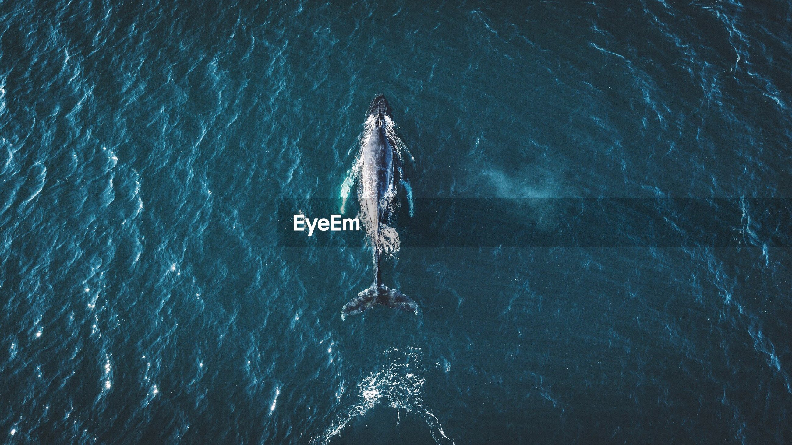 Directly above shot of whale in sea