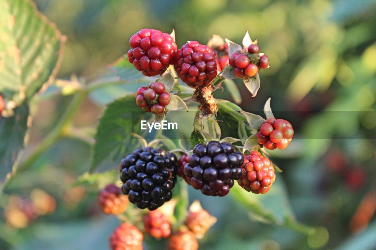 healthy eating, fruit, food and drink, food, berry fruit, freshness, growth, plant, focus on foreground, wellbeing, day, close-up, red, tree, nature, plant part, no people, leaf, blackberry, beauty in nature, ripe, outdoors, unripe, rowanberry