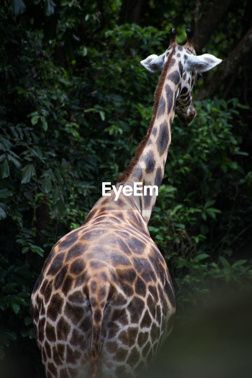 animal themes, animal, animal wildlife, one animal, animals in the wild, mammal, giraffe, animal markings, vertebrate, plant, no people, day, nature, animal neck, tree, land, safari, animal body part, forest, herbivorous, outdoors, zoo, animal head