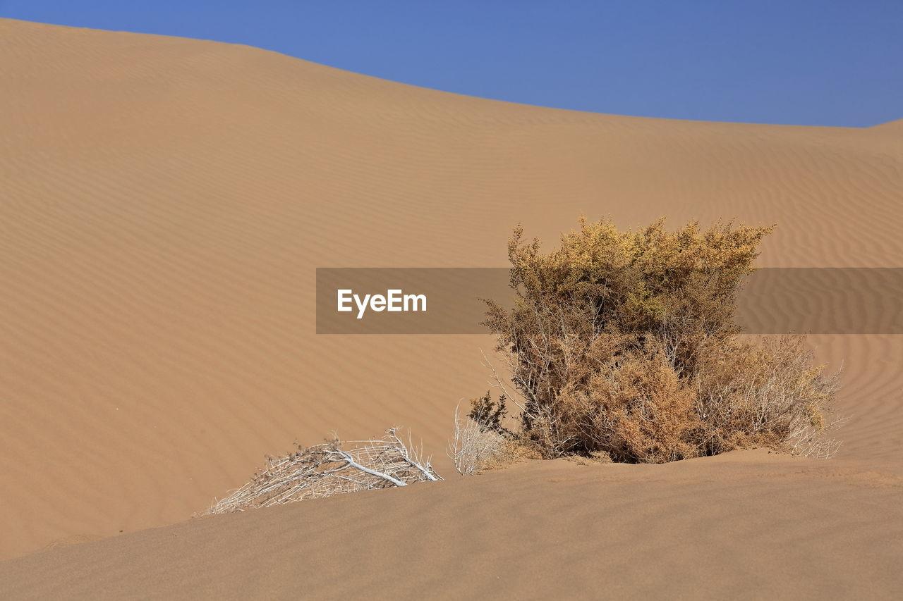 1209 unknown yellowish autumnal dry shrub-badain jaran desert-clear blue sky. inner mongolia-china.