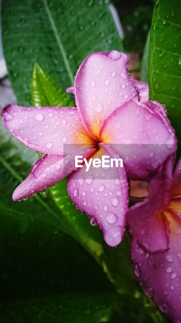 drop, water, wet, plant, flower, flowering plant, growth, fragility, freshness, beauty in nature, petal, vulnerability, close-up, inflorescence, flower head, nature, rain, no people, pink color, dew, outdoors, raindrop, purple, springtime, rainy season, purity, pollen