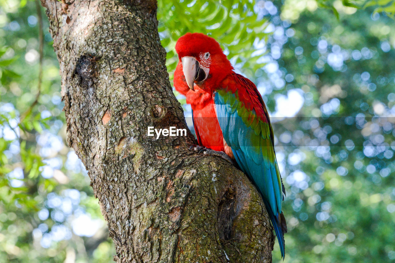 animals in the wild, animal themes, animal, tree, animal wildlife, vertebrate, bird, parrot, one animal, trunk, tree trunk, perching, plant, focus on foreground, nature, macaw, no people, day, low angle view, scarlet macaw, outdoors