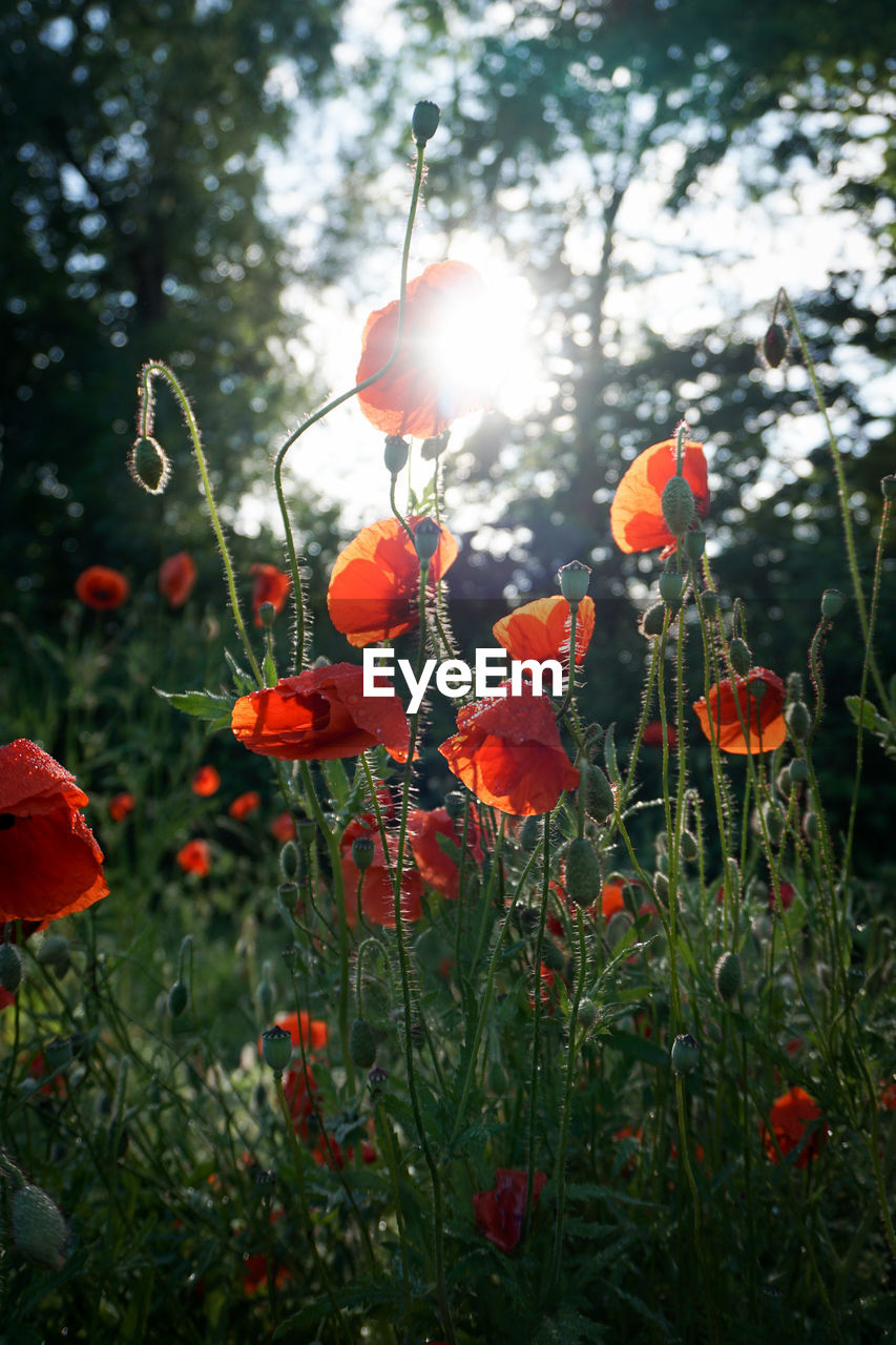 plant, growth, beauty in nature, flower, flowering plant, freshness, fragility, vulnerability, nature, red, petal, sunlight, poppy, inflorescence, land, flower head, field, orange color, close-up, day, no people, outdoors, orange