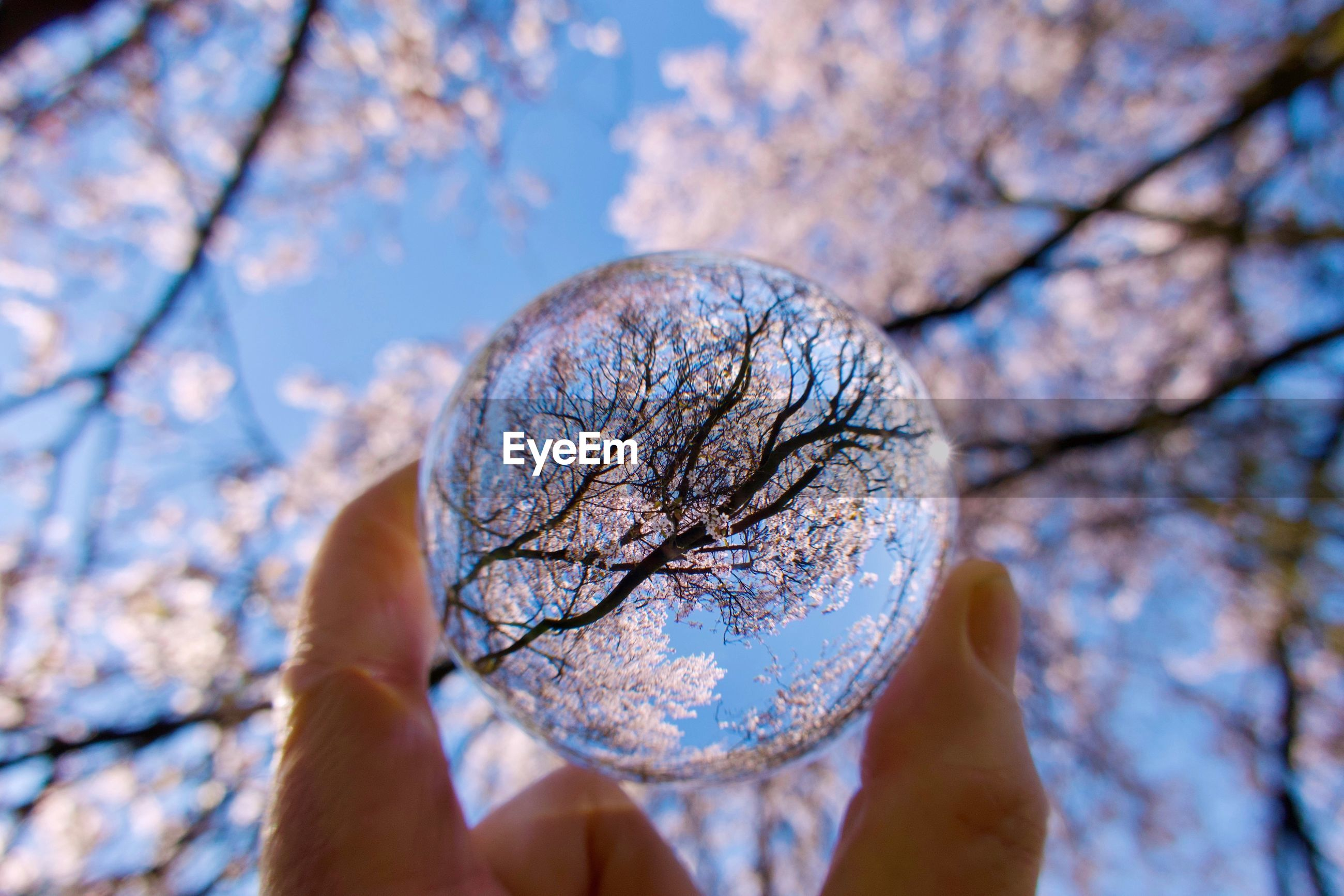 Close-up cropped hand holding crystal ball with cherry trees reflection