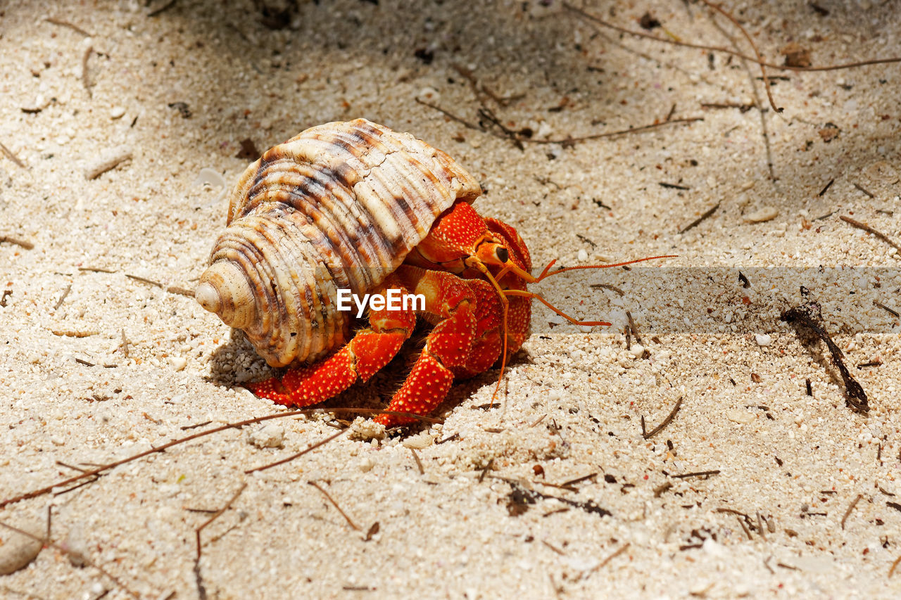 animal wildlife, animal, animal themes, crustacean, animals in the wild, one animal, hermit crab, nature, shell, close-up, sand, land, animal shell, no people, day, crab, beach, invertebrate, outdoors, sunlight, crawling, marine