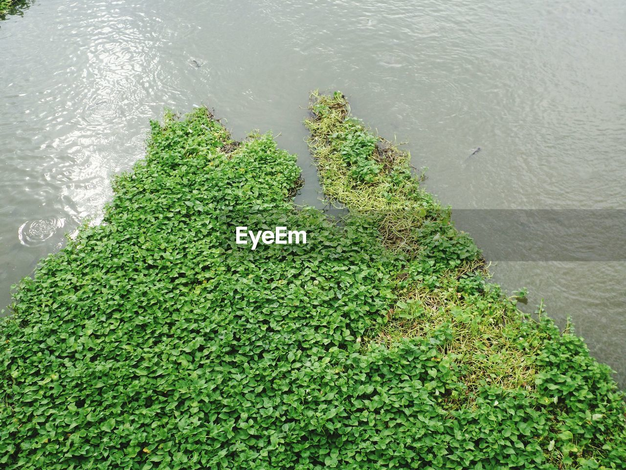 HIGH ANGLE VIEW OF FRESH PLANTS IN LAKE