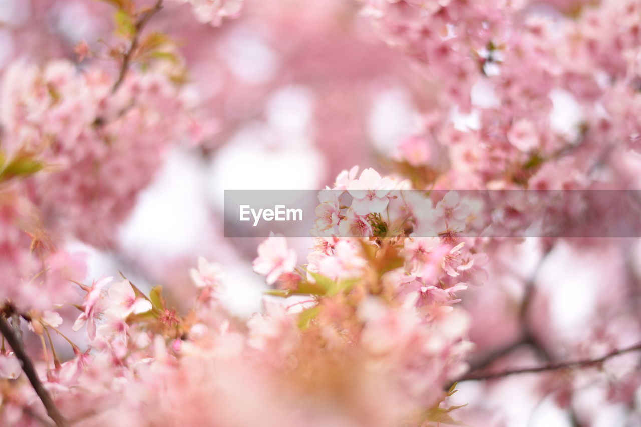 flower, pink color, blossom, fragility, tree, beauty in nature, growth, springtime, nature, selective focus, freshness, no people, botany, branch, petal, close-up, day, outdoors, flower head