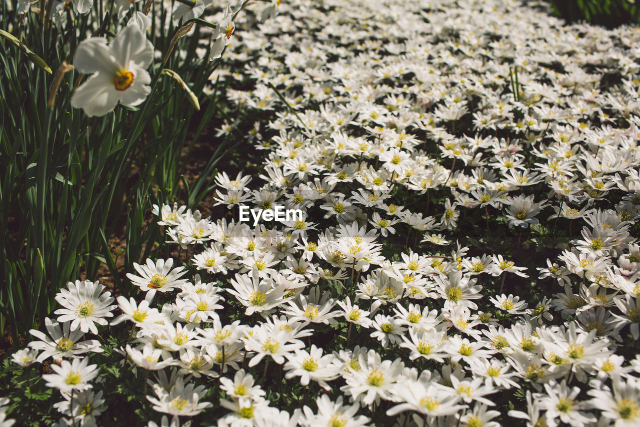 flowering plant, flower, freshness, fragility, vulnerability, plant, beauty in nature, growth, petal, inflorescence, nature, flower head, white color, daisy, no people, land, yellow, field, close-up, day, outdoors, springtime, pollen, flowerbed, spring