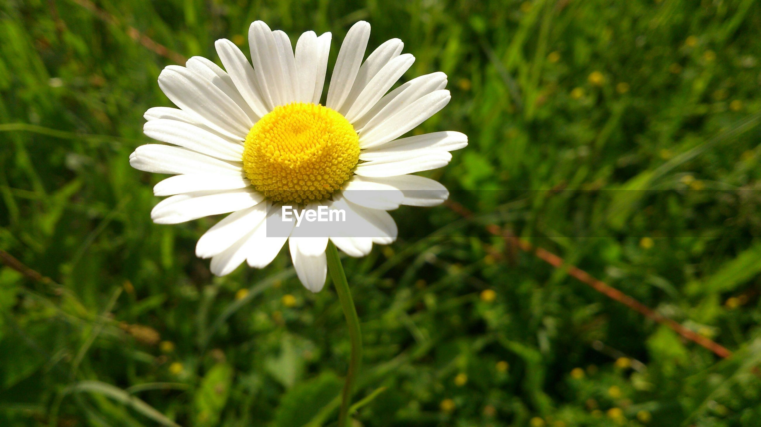 flower, freshness, petal, fragility, flower head, growth, beauty in nature, blooming, nature, daisy, focus on foreground, yellow, white color, close-up, plant, field, pollen, single flower, in bloom, outdoors