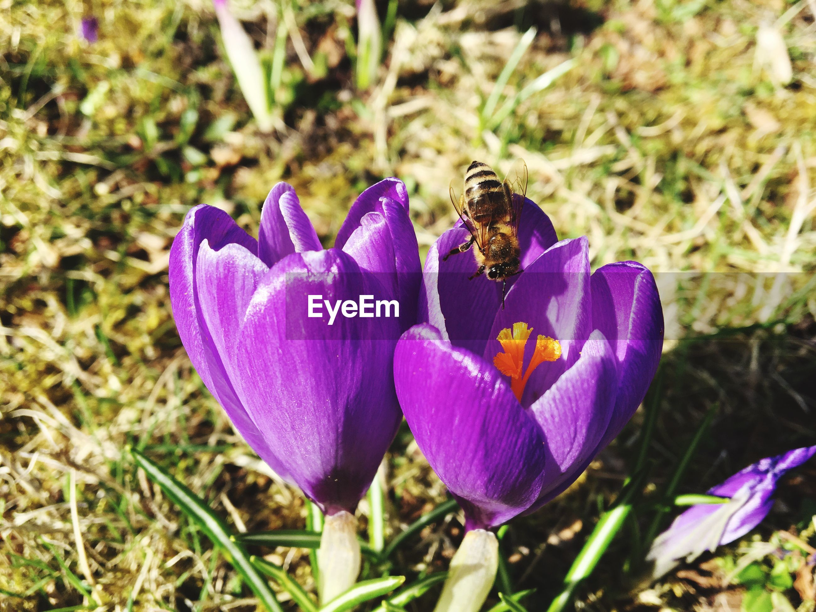 flower, nature, fragility, beauty in nature, purple, freshness, petal, growth, plant, focus on foreground, flower head, animal themes, outdoors, day, insect, no people, crocus, close-up, blooming, animals in the wild, pollination