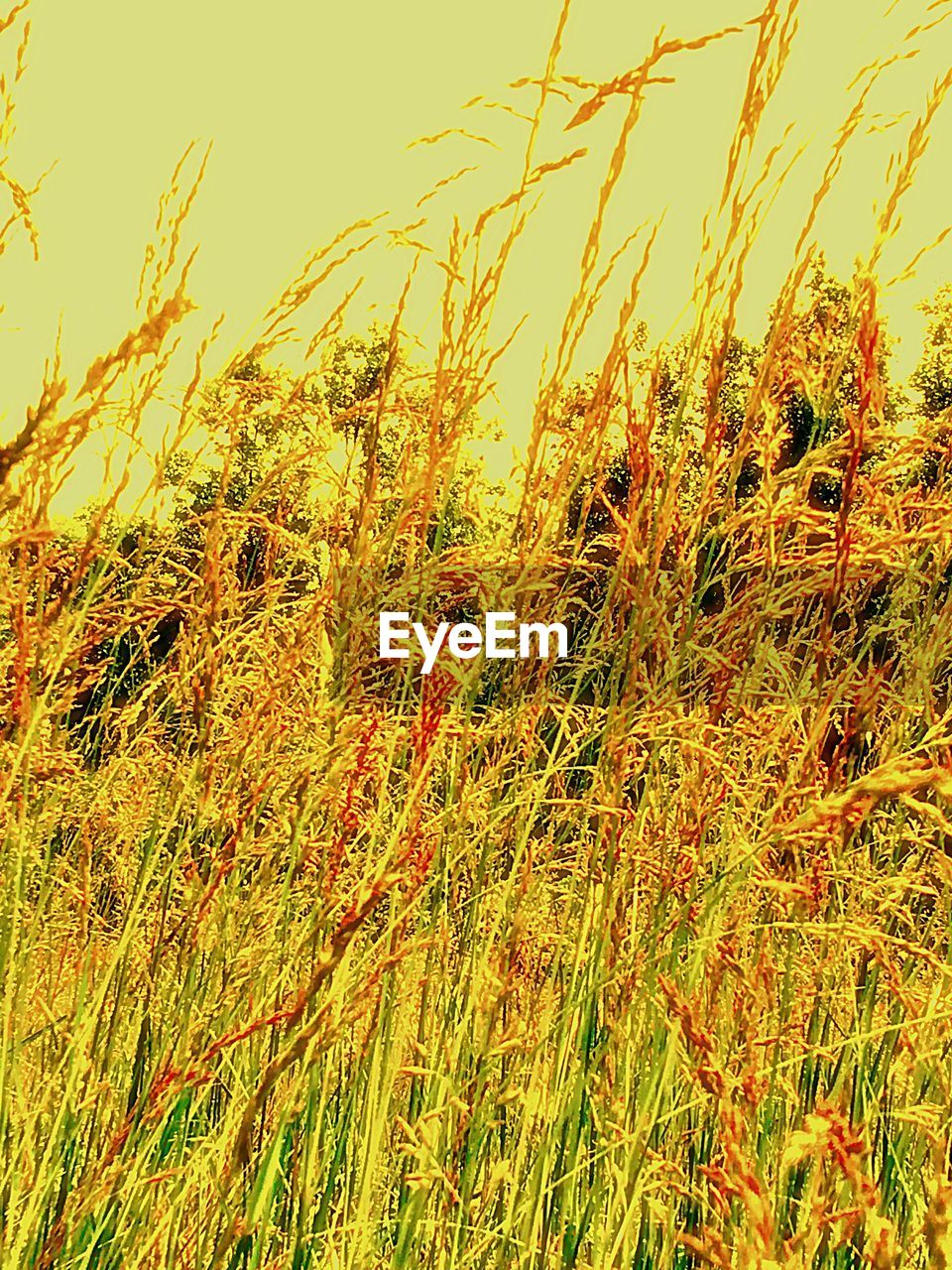nature, growth, field, grass, tranquil scene, no people, outdoors, agriculture, tranquility, plant, summer, beauty in nature, scenics, day, sky, wheat, close-up