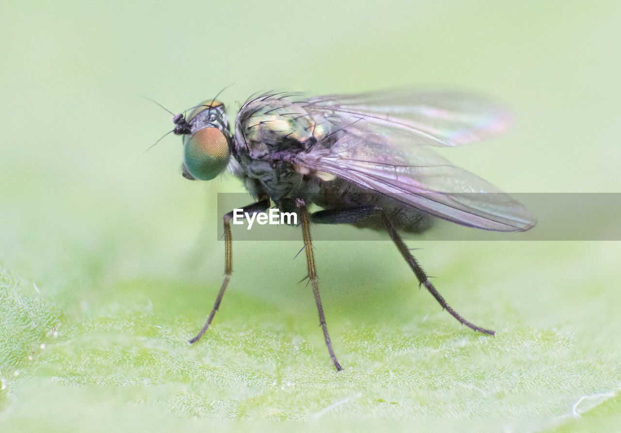 animal themes, animal, insect, animal wildlife, animals in the wild, one animal, invertebrate, animal wing, fly, close-up, housefly, green color, selective focus, nature, plant, no people, zoology, day, full length, beauty in nature, animal eye