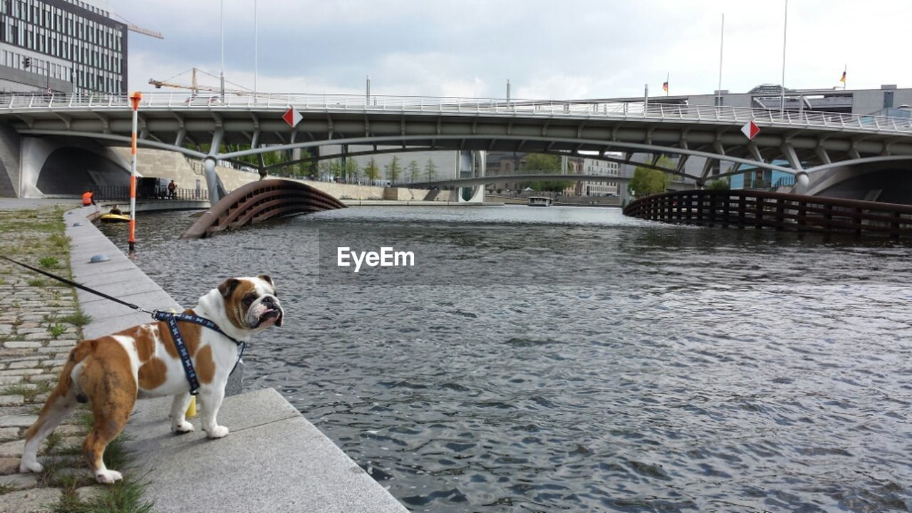 English Bulldog On River Bank
